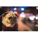 Несуществующих щенков мопса продавала на «Юле» мошенница из Черепаново