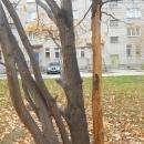 Курящие дети изувечили весь дуб за стоматологией в Бердске