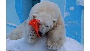 Любимое лакомство для белых медведей это - рыба