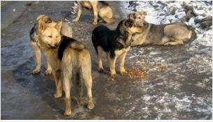 В каждом районе Бердска есть стая бездомных собак