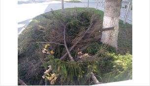 Огромные спиленные лапы лежат рядом деревом