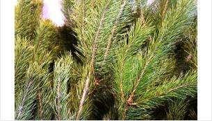 Бердский лесхоз ежегодно заготавливает порядка 4000 сосен к Новому году
