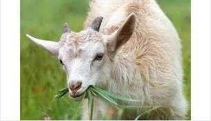 Коза получила смертельные травмы