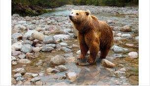Охота на бурого медведя начнется с 15 августа