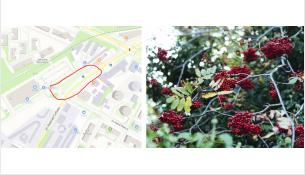 Участок ул. Красная Сибирь засадят 30 рябинами