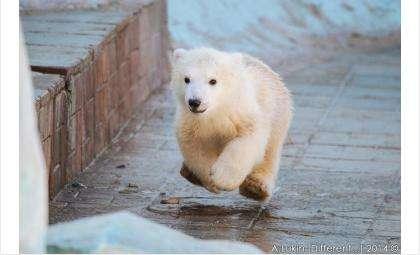 Зоопарк Новосибирска выбрал девять имен для мишки-малышки