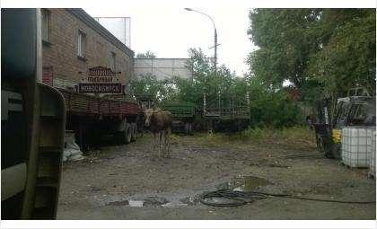 12 сентября в Новосибирск пришел лось. Фото подписчицы vk.com/typical_nsk