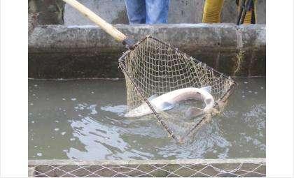 Более 18 тыс. штук сибирских осетров будут жить в реке Обь