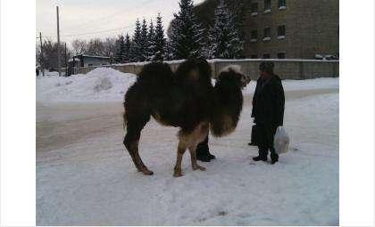 Верблюд в Бердске. Фото Виктории Калентьевой