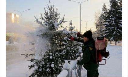 Елки в Бердске под защитой зловонной смеси