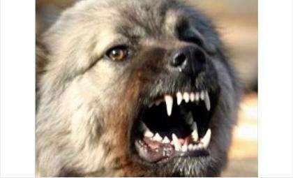 Четыре огромных пса рвали людей в клочья и чуть не загрызли до смерти в Бердске