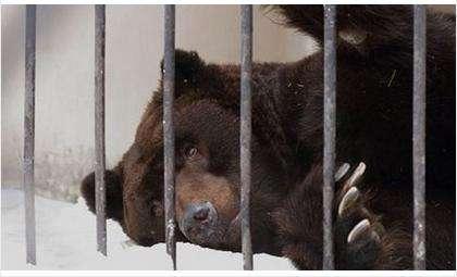 Теплая зима прервала зимнюю спячку медведей в Новосибирском зоопарке