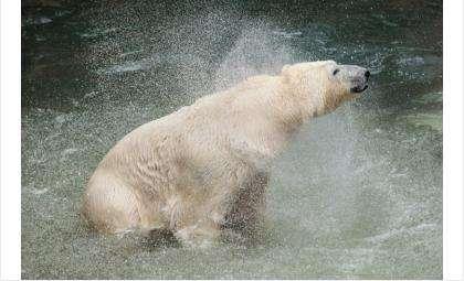 Белые медведи в зоопарке уже плещутся в бассейне
