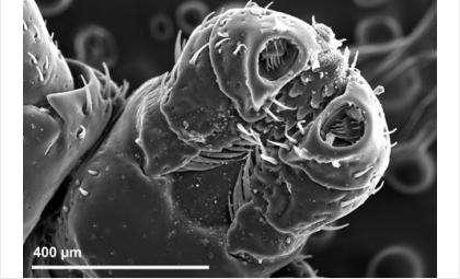 Головка клеща. Электронная микроскопия Е. Митрофановой