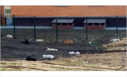 Стая крупных собак пугает людей в м-не Радужный в Бердске!