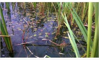Множество дохлой рыбы размером до 10 см плавает в камышах в реке Бердь