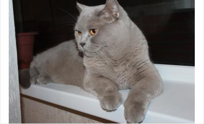 Найден Британский кот на Лунной 1