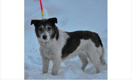 Маленькая бело-коричневая собачка найдена в Бердске 18.02.17