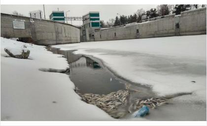 Рыба гибнет от недостатка кислорода в канале шлюза новосибирской ГЭС