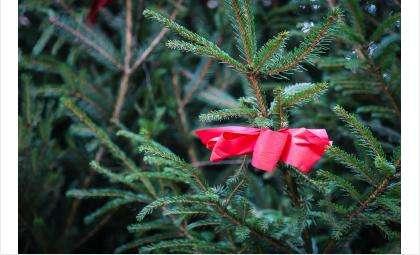 Бердчане готовы приобретать ёлки к новогодним праздникам