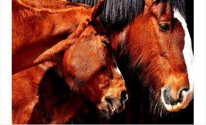 Двух скаковых лошадей арестовали приставы у кредитного должника в Бердске