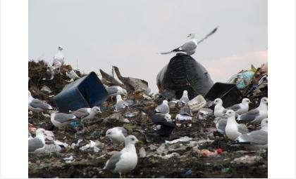 Коршуны и чайки угрожают безопасности самолетов в Толмачёво