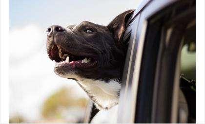 Без намордника! Бойцовский пес при хозяине покусал полицейского