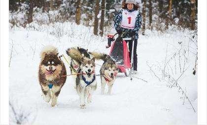 Гонки на собачьих упряжках состоятся на лыжной базе «Метелица» в Бердске 13 января