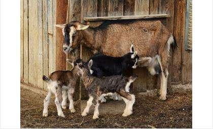 Четыре козы, три козленка и 8 кур сгорели во время пожара в Искитимском Агролесе