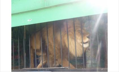 Африканского льва пытались незаконно вывезти из РФ в Казахстан