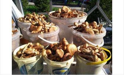 Наступил сезон грибного изобилия