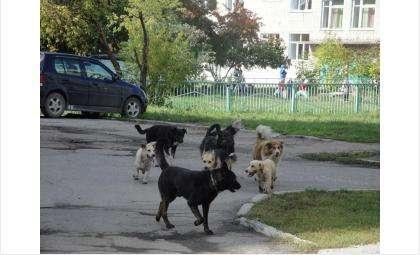 Собаки сбиваются в стаи на разных улицах Бердска. Среди них есть и домашние псы