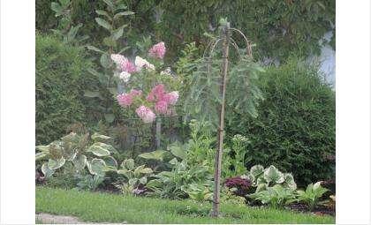 Штамбовые деревья и редкие сорта гортензии исчезли из чудесного сада