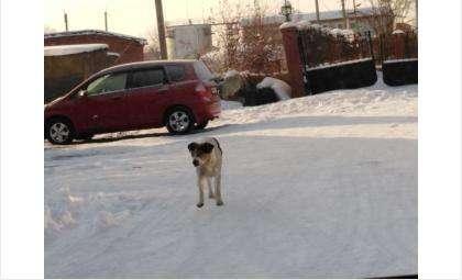 Бездомные псы едва не разорвали подростка под Новосибирском
