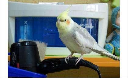 В парикмахерской называют попугайчика своим талисманом