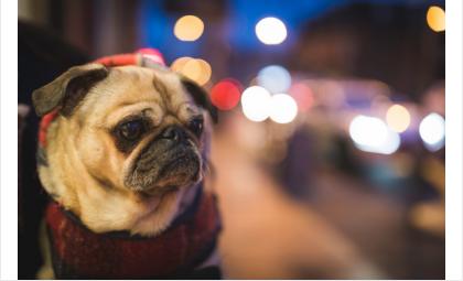 Несуществующими щенками мопса торговала мошенница