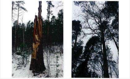 Деревья ломает ветром