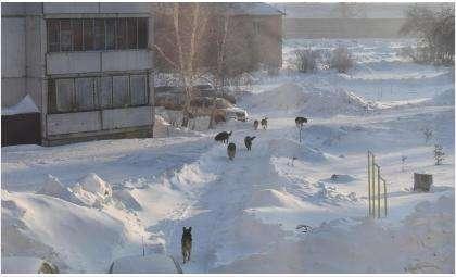 Стая из семи крупных собак держит в ужасе жителей военного городка в Бердске