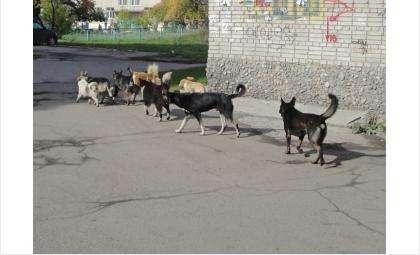 Бродячие собаки в разных районах Бердска круглый год сбиваются в стаи и становятся опасными для людей