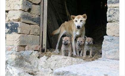 Бездомные собаки сбиваются в стаи и превращаются в хищников