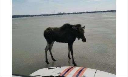 Бердские спасатели сняли лосёнка с дрейфующей льдины