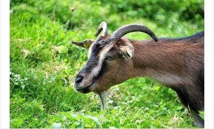 Бродячая собака напала на коз