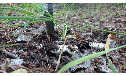 Грузди находят по всей Новосибирской области
