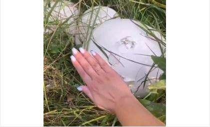 Грибы напоминают яйца динозавров