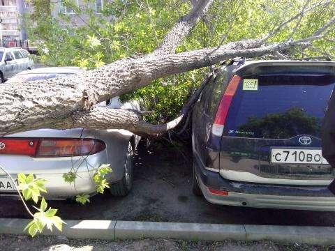 Дерево из детского садика завалилось в Бердске на парковку