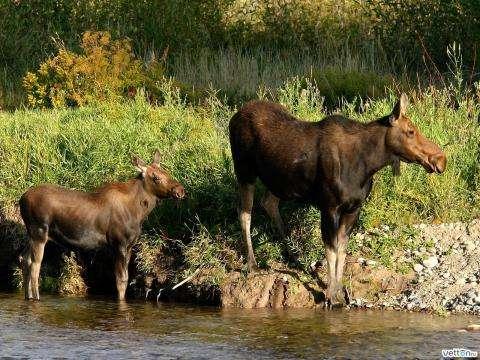 Шестимесячного лосенка застрелил браконьер из Бердска