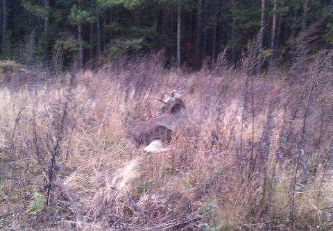 Лось выбежал из леса под Бердском и попал под машину