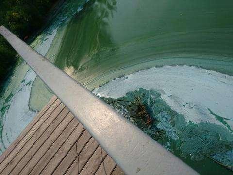 Вода в Бердском заливе позеленела 16 августа