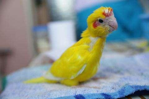 Птенец попугая какарика